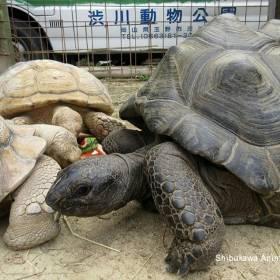 Wielki żółw uciekł z zoo. Skrył się z najmniej oczekiwanym miejscu!