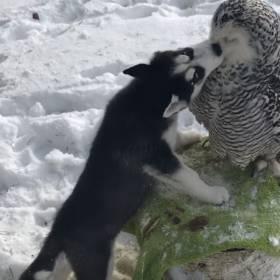 Szczeniak Husky całujący małą sowę to najsłodsze, co dziś zobaczysz!