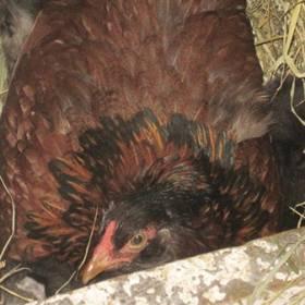 Rolnik myślał, że kura wysiaduje jaja. Gdy podszedł, nie wierzył własnym oczom!