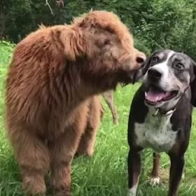 Porzucona krówka wychowała się z psami i... myśli, że jest psem!
