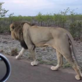 Ten lew pokazuje, kto tu jest królem!