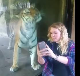 Ciężarna kobieta chciała zrobić zdjęcie z tygrysem. Stało się jednak coś niebywałego!