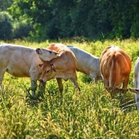 Anomalia przyrodnicza. W Polsce urodziła się krowa z dwiema głowami - zwierzę żyło