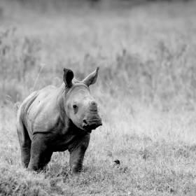 Tragedia w ogrodzie zoologicznym. Konieczne było uśpienie małego nosorożca