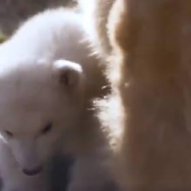 Młody niedźwiadek polarny wyszedł na wybieg. To pierwszy od 25 lat młody, który narodził się w Wielkiej Brytanii