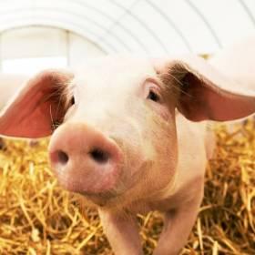 """W Chinach każda świnia ma swój pokój w hotelu. Wszystko dla """"świńskiego"""" bezpieczeństwa!"""