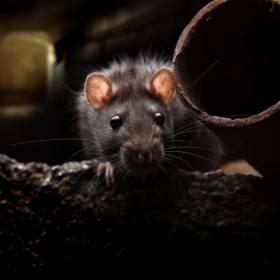 Szczury coraz bardziej widoczne. Przez pandemię częściej wychodzą na ulice