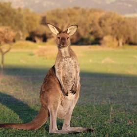 Kangur w... samolocie! Wideo z podróży zwierzaka podbija sieć!