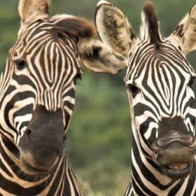 Naukowcy rozwiązali kolejną zagadkę! Wiadomo, dlaczego zebry mają paski!