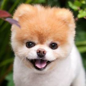"""Nie żyje pies Boo. Był """"najsłodszym"""" czworonogiem na świecie"""