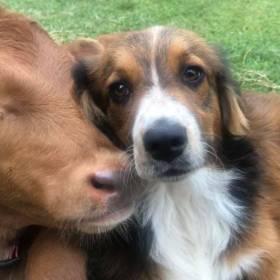 Niepełnosprawny cielak i pies to najlepsi przyjaciele [WIDEO]