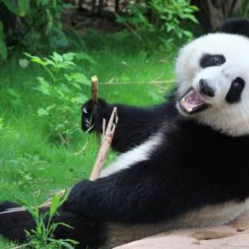 Pandy po 10 latach zaczęły spółkować w zamkniętym zoo. Skutki pandemii koronawirusa