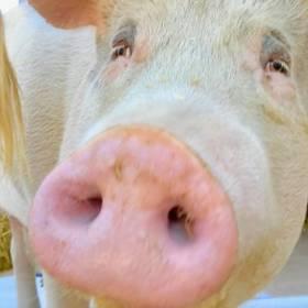Pigcasso zaprojektowała zegarek dla Swatch: Twórczość świni-malarki zyskuje coraz większe uznanie!