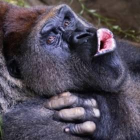 Zrelaksowane goryle pozują do selfie ze swoim opiekunem. Niesamowite zdjęcie!
