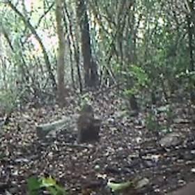 Myszo-jeleń odnaleziony! Nagranie z rzadkim zwierzęciem trafiło do sieci [WIDEO]