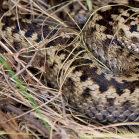 Dwugłowy wąż w Pułtusku. Niesamowity widok! [ZDJĘCIA]