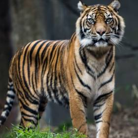 Rolnik przemalował psa na tygrysa, by skuteczniej bronił... pola [WIDEO]