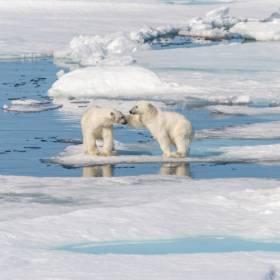 Niedźwiedzie polarne za kilkadziesiąt lat wyginą. Tragiczne skutki zmian klimatu