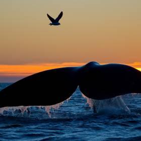 Rybak znalazł na plaży wymiociny wieloryba. Są warte fortunę!
