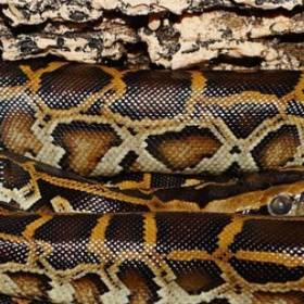 Pyton Tygrysi w okolichach Sulejowa i Piotrkowa Trybunalskiego! Znaleziono poszukiwanego węża?