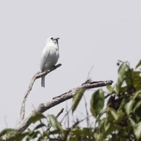 Śpiewa z siłą startującego odrzutowca! To najgłośniejszy ptak na świecie [WIDEO]