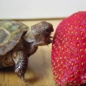 Mały żółwik kontra truskawka. Kto wygra to starcie?