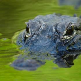 W moskiewskim zoo zmarł 84-letni aligator. Niektórzy twierdzą, że należał do Hitlera
