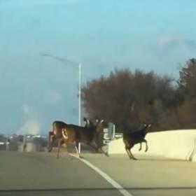 Przestraszone jelenie skaczą z mostu! Wstrząsające nagranie