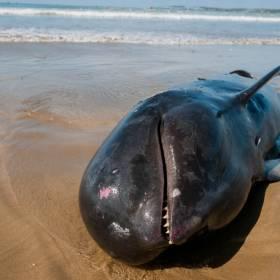 Setki wielorybów zmarło na wybrzeżach Tasmanii. To największa tragedia w historii Australii