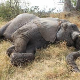 Znaleziono ponad 350 martwych słoni. Wielka tragedia w Afryce
